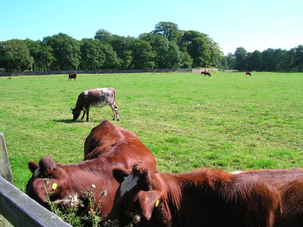 Cows at Dunham Massey, Cheshire